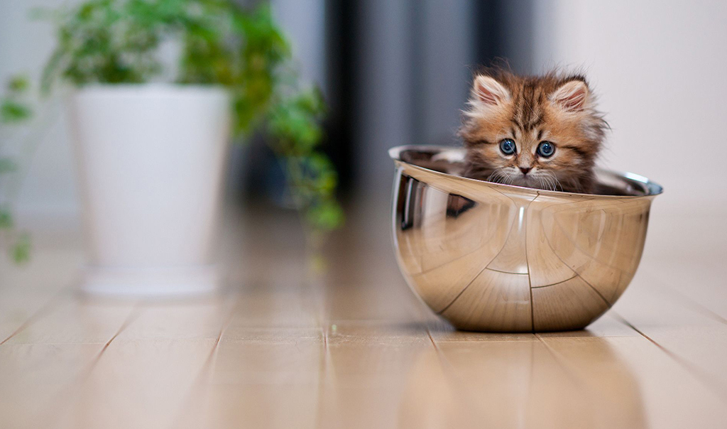 Kitten in a Bowl